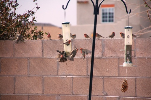 Typical of the amount of House Finches swarming around the feeder