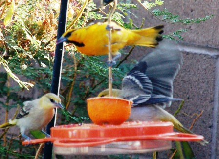 Male Bullock's Oriole feeding two offspring and showing them how to use the oriole feeder.