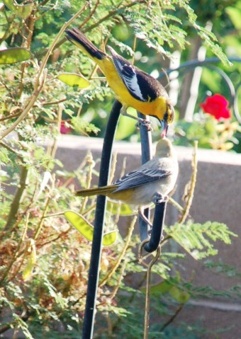 Male Bullock's Oriole feeding offspring. (Click photo to enlarge.)