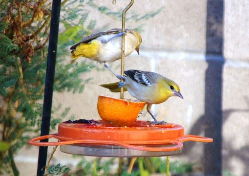 Two young Bullock's Orioles at the oriole feeder where they made complete pigs of themselves.